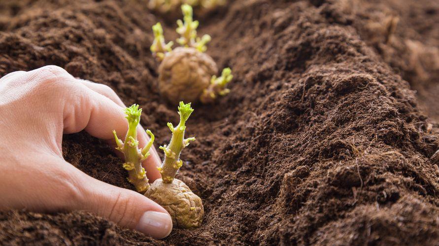Cara menanam kentang di rumah bisa dilakukan di tanah dalam pot ataupun di air